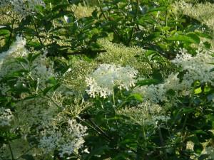 elderflower pix