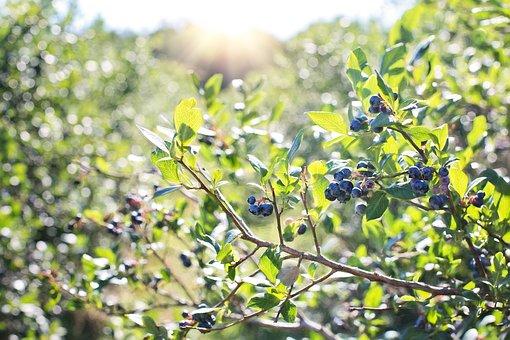 blueberries pix 1