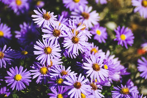 asters pix