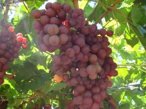 grozde 1