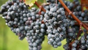grozde-cherno