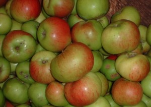 apple bramley 1