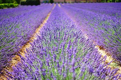 lavender-flowers pix
