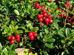 borovinka chervena
