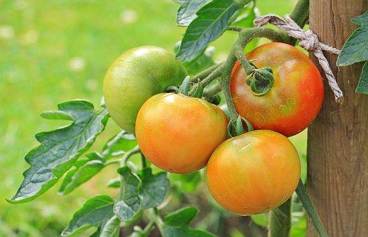 tomatoes pix 1