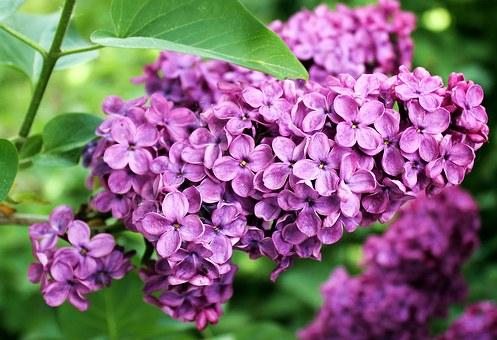 lilac pix 1