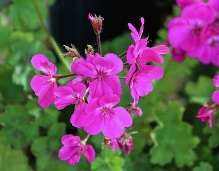 zdravec pix geranium